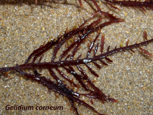 Gelidium corneum